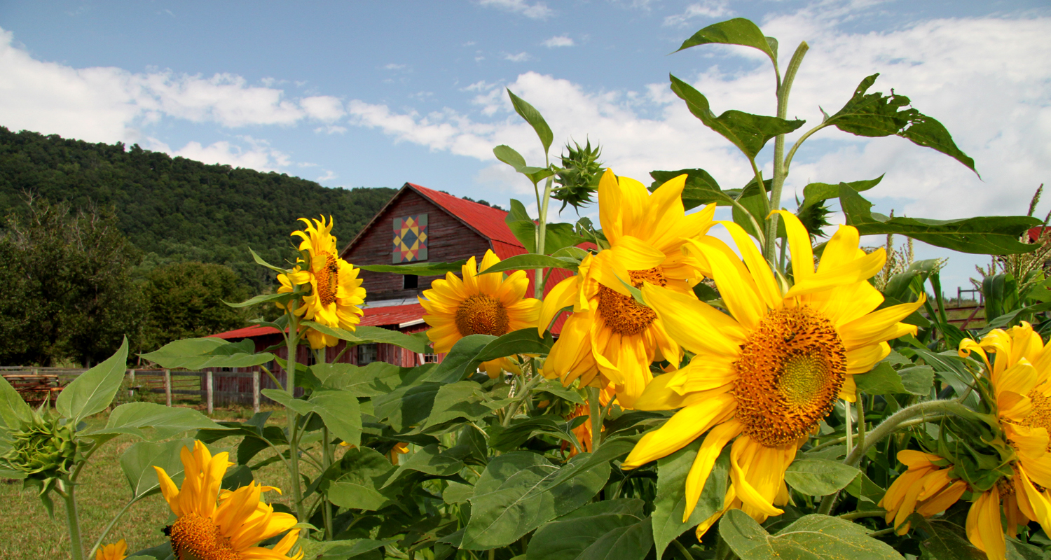 Quilt Barn and Sunflowers